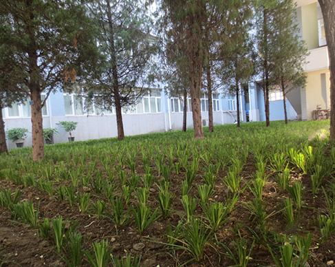 联合大学苔草种植