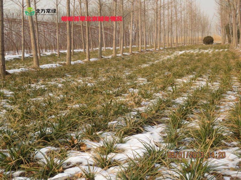 崂峪苔草在北京或京津冀地区能过冬吗?